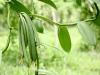 sambava-plantage-13