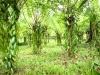 sambava-plantage-17
