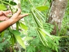 sambava-plantage-21