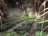 sambava-plantage-7