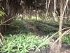 sambava-plantage-8