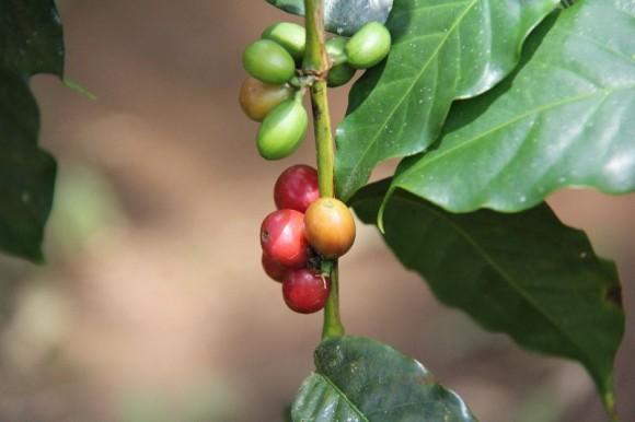 unreife und reife Kaffeebohnen